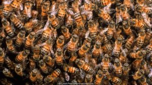 Honey bees in hive {Apis mellifera} Ecuador